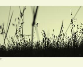 """""""The Silhouette of Grass in Vespertine Gloaming""""  © Tatjana Iljina"""