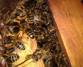Bites parduodu be avilio (tik koriai su bitėmis viename 8 rėmelių korpusėlyje)  Rėmeliai visi meduviniai - magazininiai (435X145), daugiaaukščio avilio.