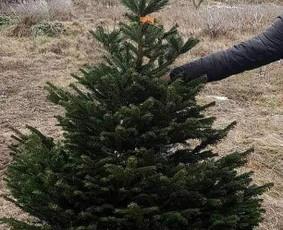 Kalėdinės eglutės į namus! Kėniai,sidabrinės eglės