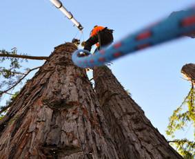 Medžių pjovimas, kelmų frezavimas