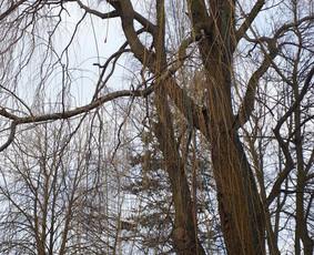 Medžių pjovimas,genėjimas-arboristų paslaugos