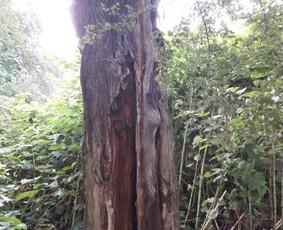 Avarinių medžių pjovimas