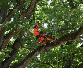 Pigus Pavojingų avarinių medžių pjovimas genėjimas