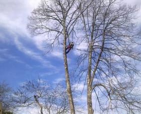 Medžių pjovimas