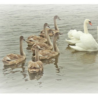 """The Family of Swans"" (40X25cm) © Tatjana Iljina"