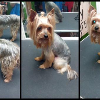 Šunų kirpimas Klaipėdoje / Greta / Darbų pavyzdys ID 471255