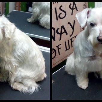 Šunų kirpimas Klaipėdoje / Greta / Darbų pavyzdys ID 471257