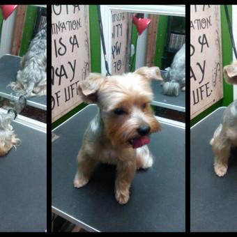 Šunų kirpimas Klaipėdoje / Greta / Darbų pavyzdys ID 471267