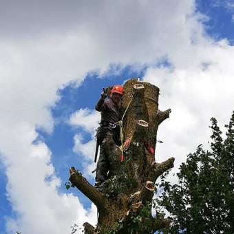 Didelio medžio pjovimas su gera nuotaika :D