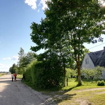 Didžiulio medžio kirtimas netoli gyvenamojo pastato, elektros linijos ir kelio.