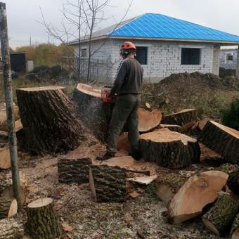 Dviejų kamienų gluosnio kirtimas, kamienas 85 cm skersmens. Visas medis supjautas kaladėmis ir paliktas užsakovui.