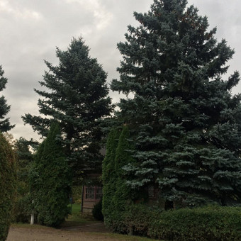 Dviejų eglių kirtimas šalia sodo namelio ir kelio.
