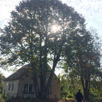 Dviejų liepų ( 4 ir 3 kamienų) kirtimas šalia gyvenamojo namo.
