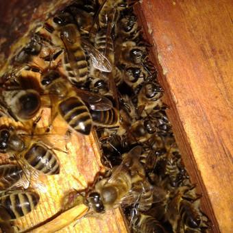 * Iš anksto susitarę ,  galite nusipirkti  bičių šeimą.  Bites parduodu be avilio (tik koriai su bitėmis)   Rėmeliai visi meduviniai - magazininiai (435X145), daugiaaukščio avi