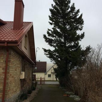 Eglės kirtimas šalia gyvenamojo namo bei tvoros.