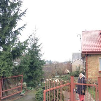 Eglės kirtimas šalia gyvenamojo namo bei tvoros. Kliento pageidavimu kamienas supjautas kaladėmis, šakos suskersuotos.