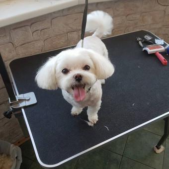 Šuniukų kirpimas / Katerina / Darbų pavyzdys ID 566805