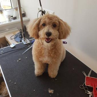 Šuniukų kirpimas / Katerina / Darbų pavyzdys ID 566809