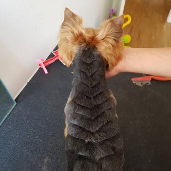 Šuniukų kirpimas / Katerina / Darbų pavyzdys ID 566815