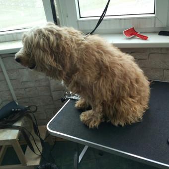 Šuniukų kirpimas / Katerina / Darbų pavyzdys ID 566841