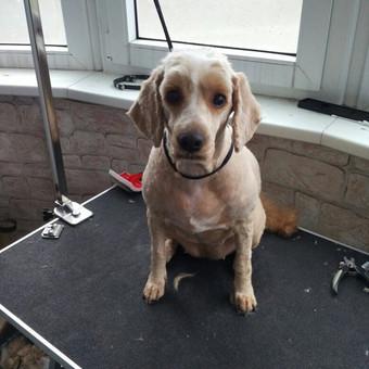 Šuniukų kirpimas / Katerina / Darbų pavyzdys ID 566843