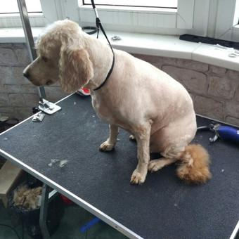 Šuniukų kirpimas / Katerina / Darbų pavyzdys ID 566845