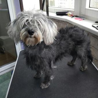 Šuniukų kirpimas / Katerina / Darbų pavyzdys ID 566847