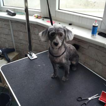 Šuniukų kirpimas / Katerina / Darbų pavyzdys ID 566849