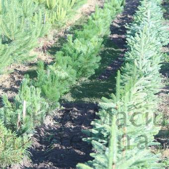 Prekyba augalais / Darius Baltušis / Darbų pavyzdys ID 82940
