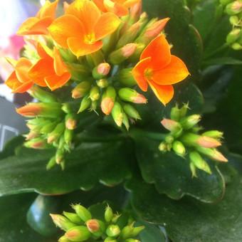 Dalios Gėlės - puokštės, kompozicijos, gėdulo vainikai / Dalia Pranskevičienė / Darbų pavyzdys ID 1001523