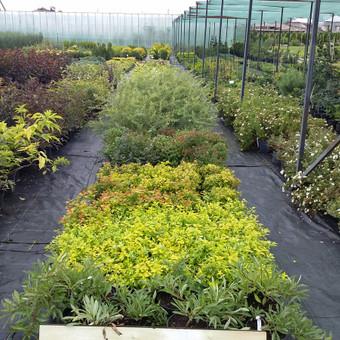 Lapuočiai augalai vazonėliuose.