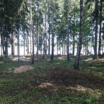 Menkaverčių medžių pjovimas