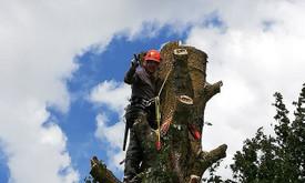 Pavojingų medžių pjovimas
